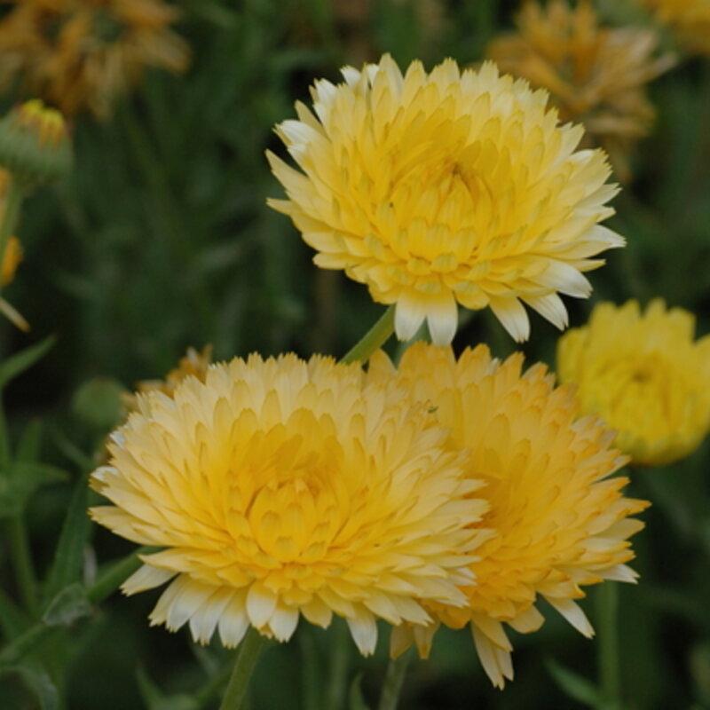 Soucis - Lemon Pastel