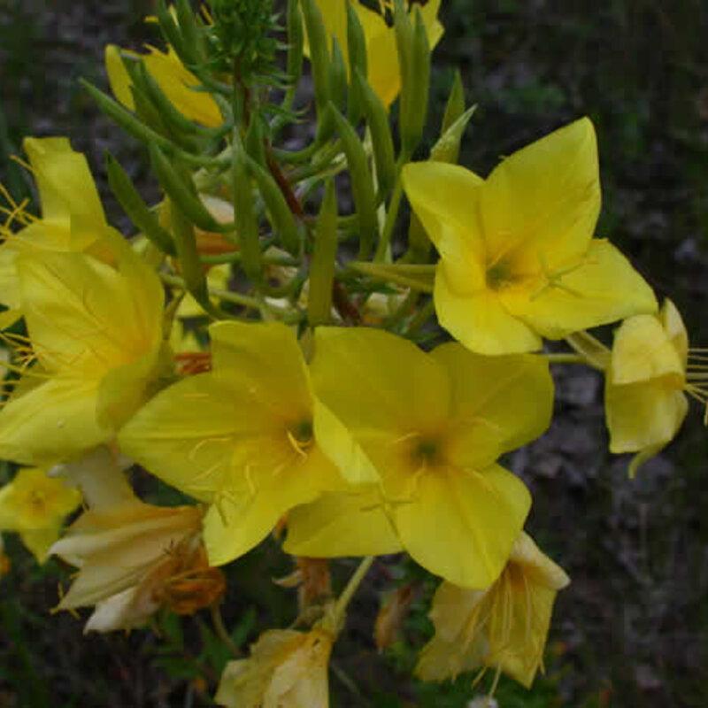 Œnothera - Oenothera rhombipetala