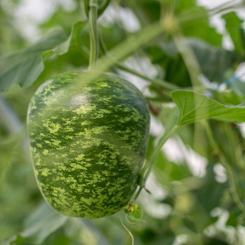 Gourdes - Big Apple / Speckled Apple