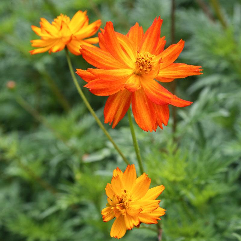 Cosmos - Alex Orange à Rouge