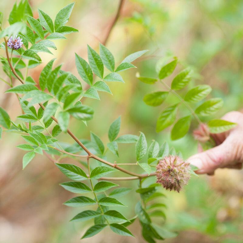Glycyrrhiza - Glycyrrhiza yunnanensis