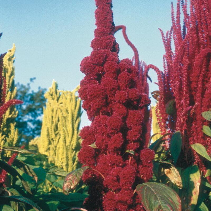 Amaranthes à Feuilles - Bolivia 153