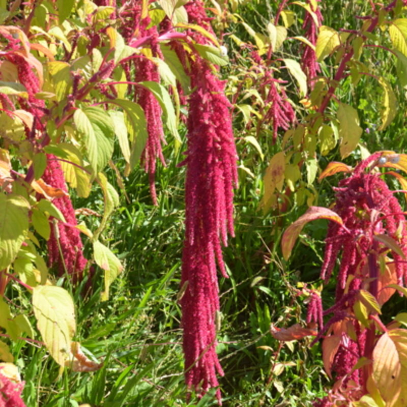 Amaranthes à Grains - Love Lies Bleeding