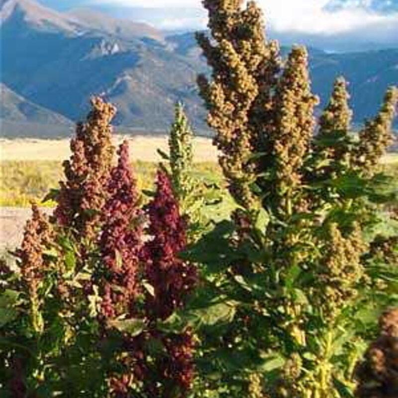 Quinoas - Colorado Black Shelly 25