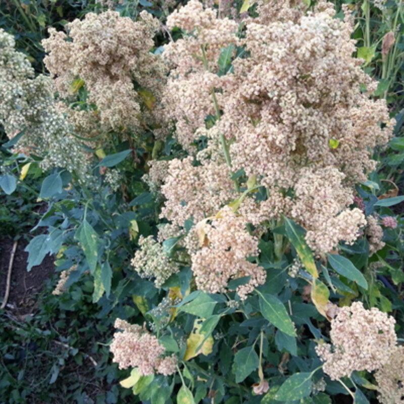 Quinoas - Mint Vanilla