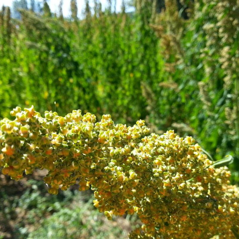 Quinoas - Golden Afternoon