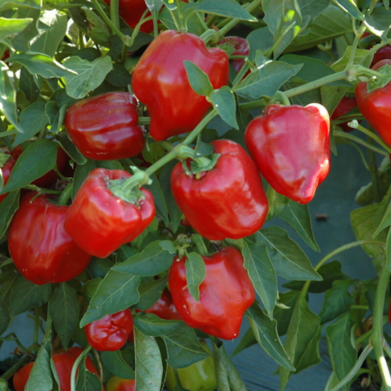 Piments/Poivrons - Little Bells