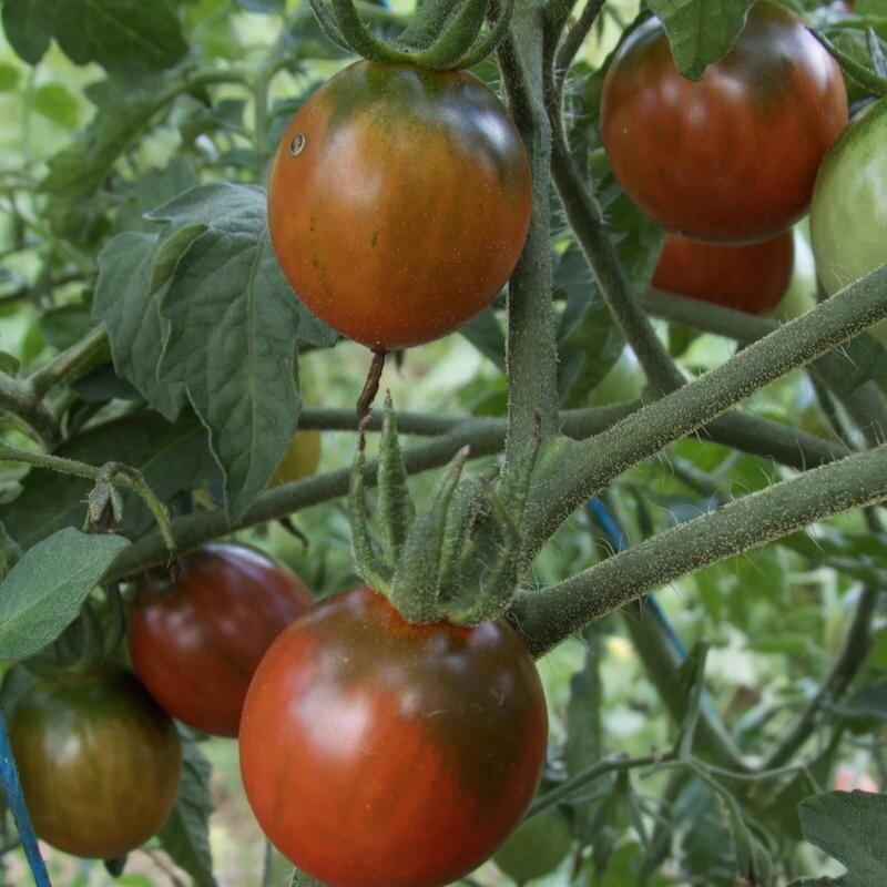 Tomates-Cerises - Black Centiflor Hypertress
