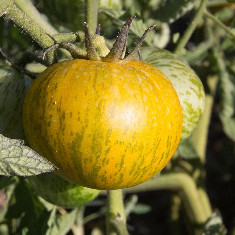 Tomates - Nana