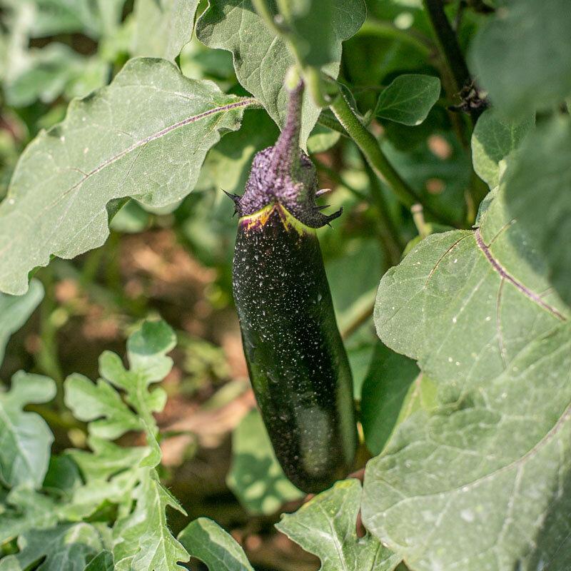 Aubergines - Kurume Long Purple