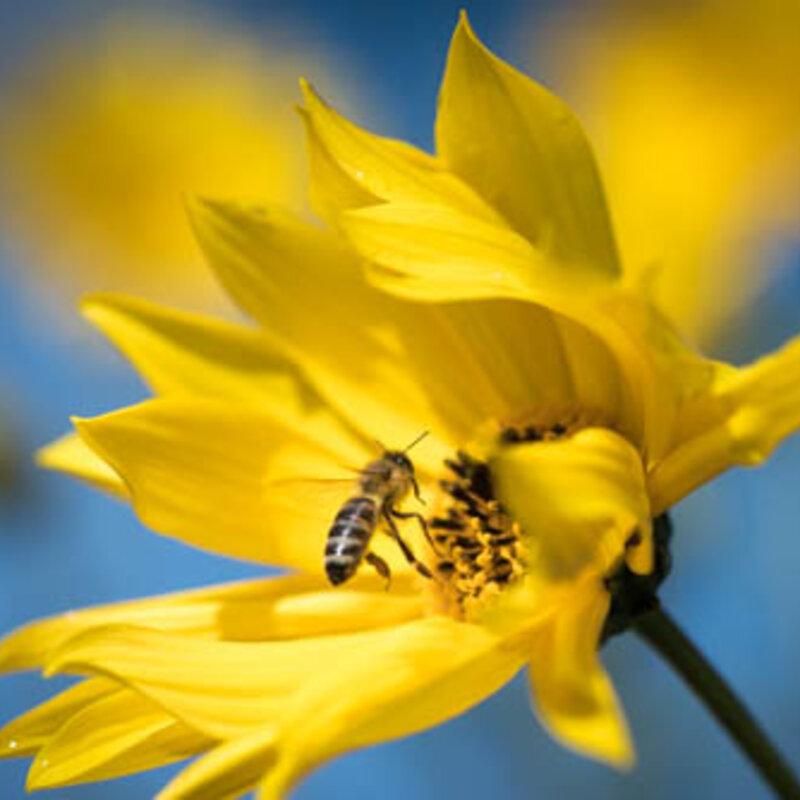 Mélanges Mellifères - Mélange de Fleurs Annuelles Variétés mellifères