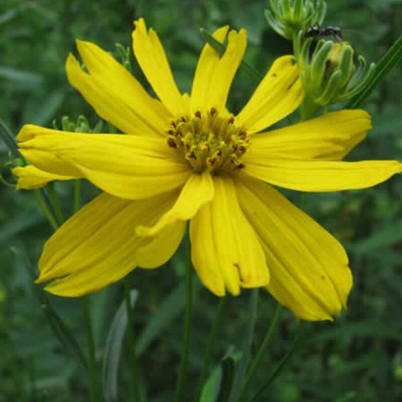 Coreopsis - Coreopsis palmata