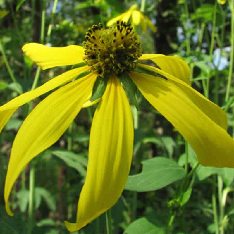 Rudbeckia - Rudbeckia laciniata