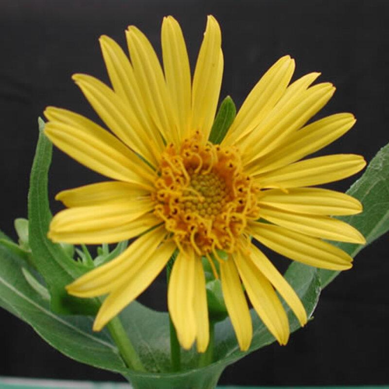 Silphium - Silphium perfoliatum