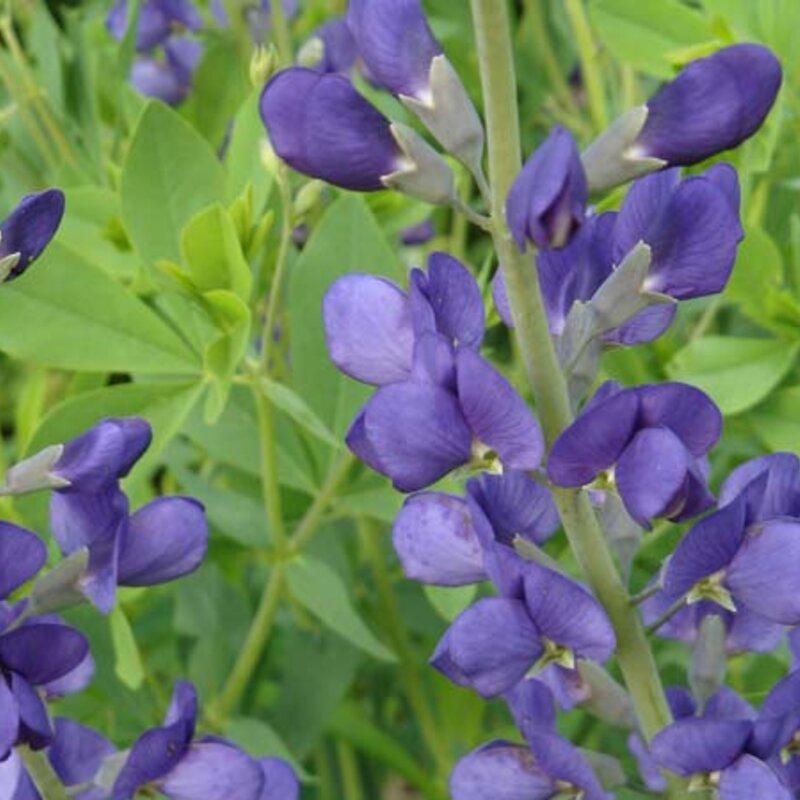 Baptisia - Baptisia australis