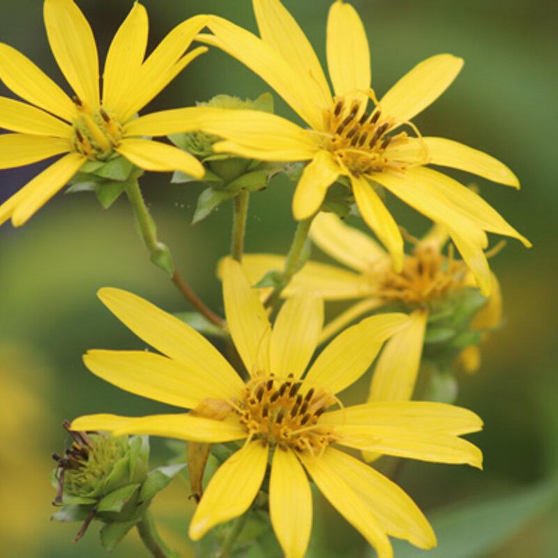 Silphium - Silphium trifoliatum