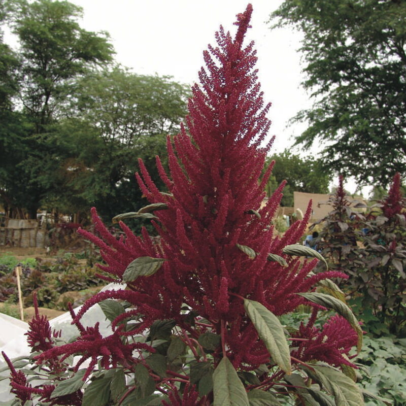Amaranthes à Feuilles - Kahulu