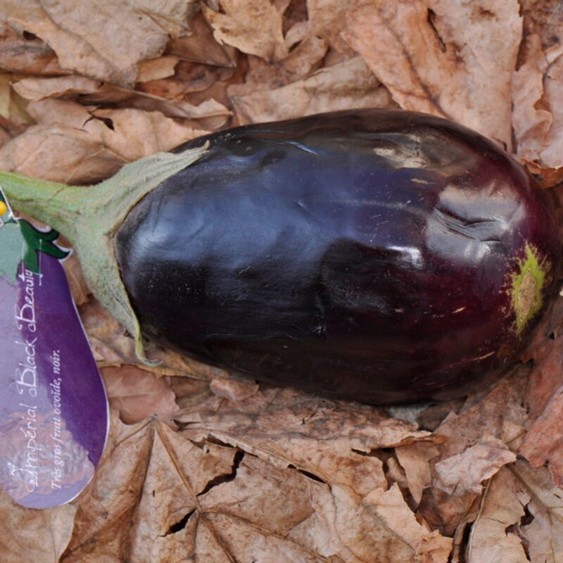 Aubergines - Imperial Black Beauty