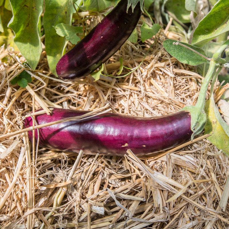 Aubergines - Longue Violette Hâtive
