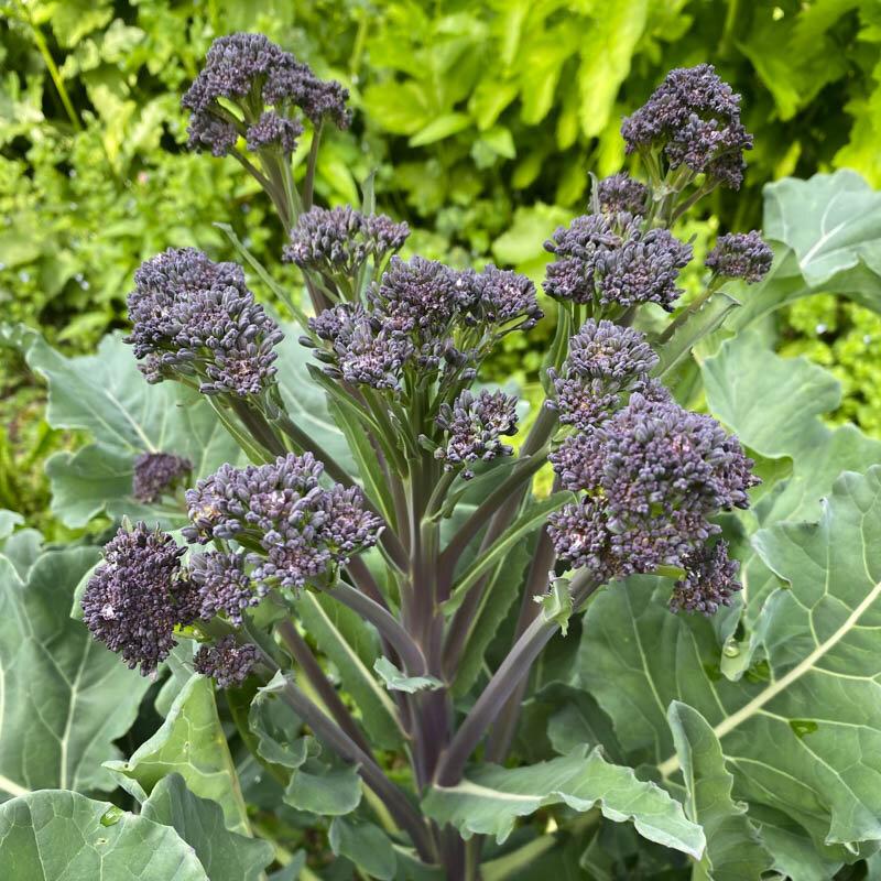 Choux Brocolis - À Jets Violets