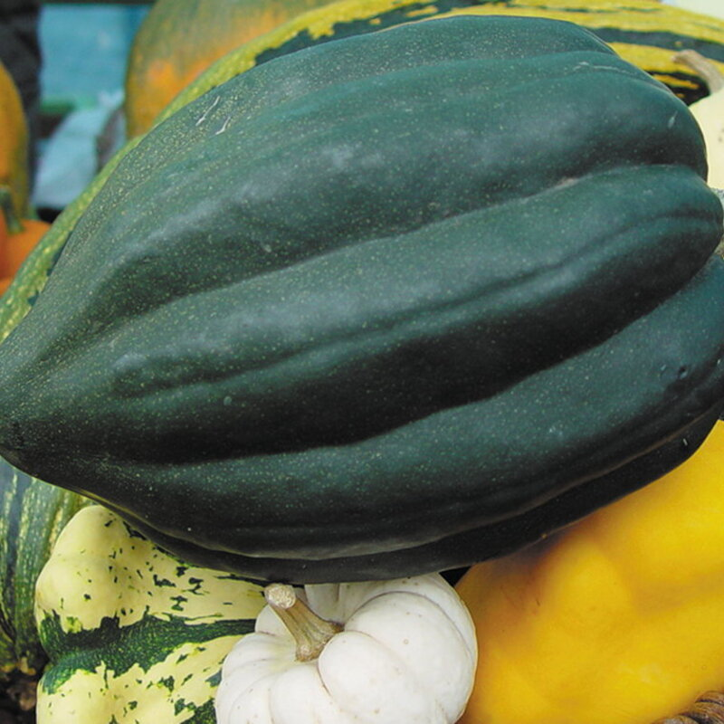 Courges Pepo - Royal Acorn