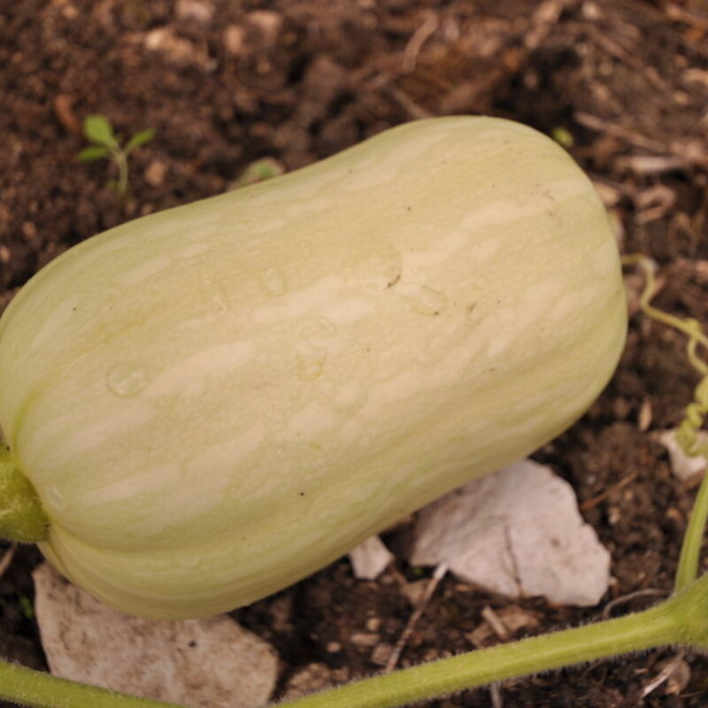 Courges Moschata - Butternut Ponca
