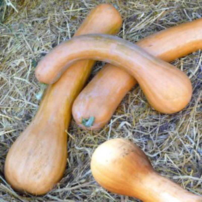Courges Moschata - Longue de Nice