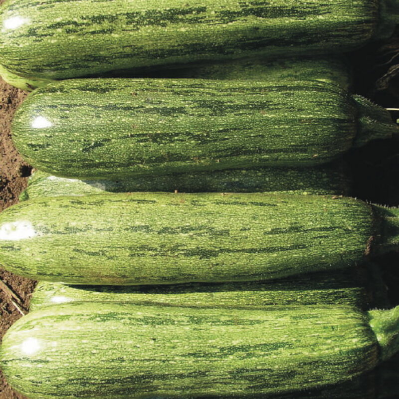 Courgettes - Caserta
