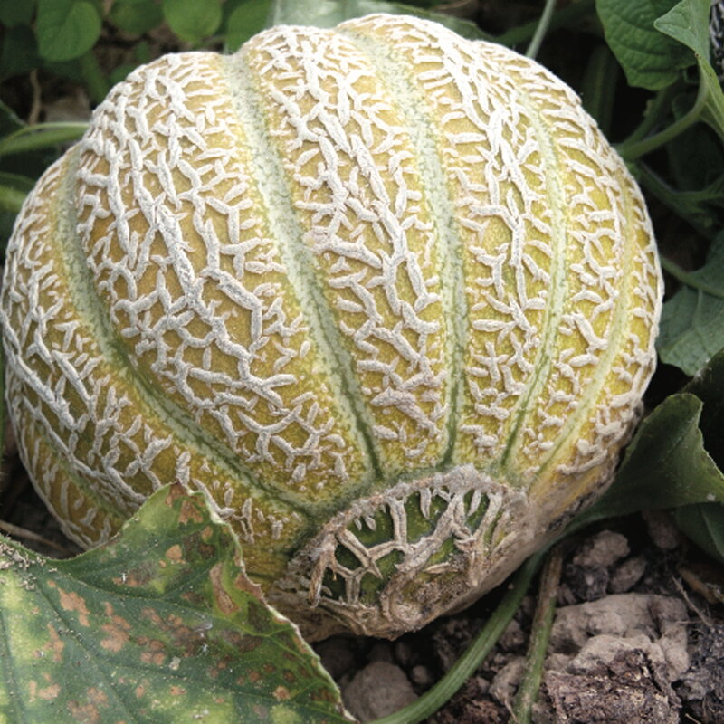 Melons - Jenny Lind
