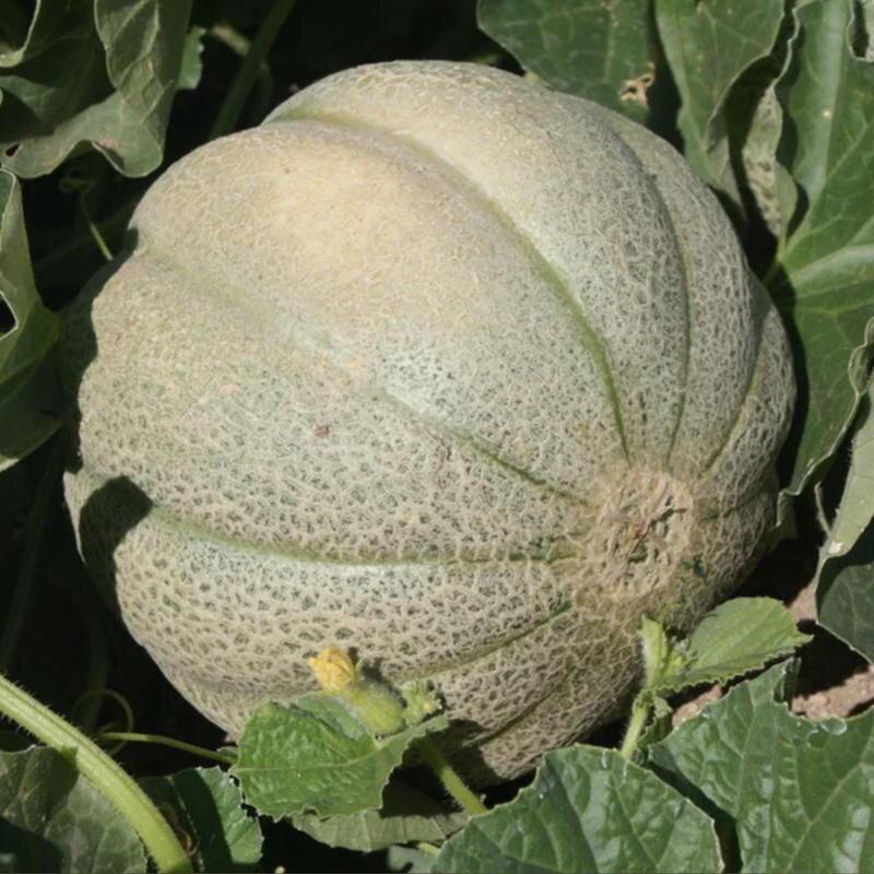 Melons - De Montréal