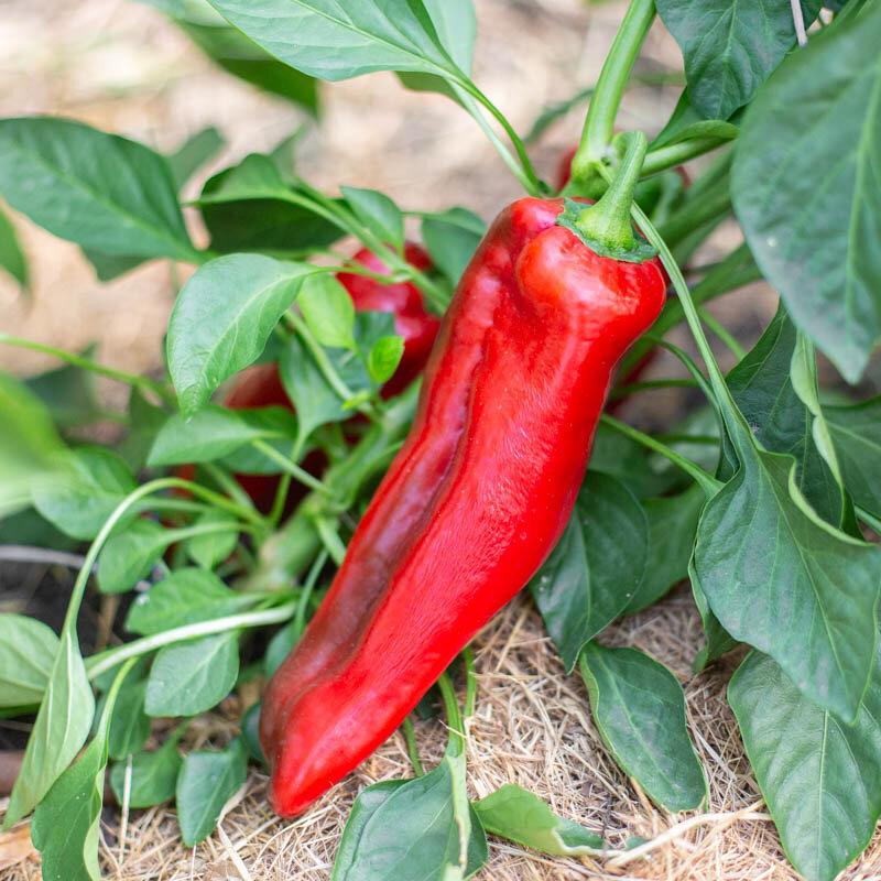 Piments/Poivrons - Corno Di Toro Rouge