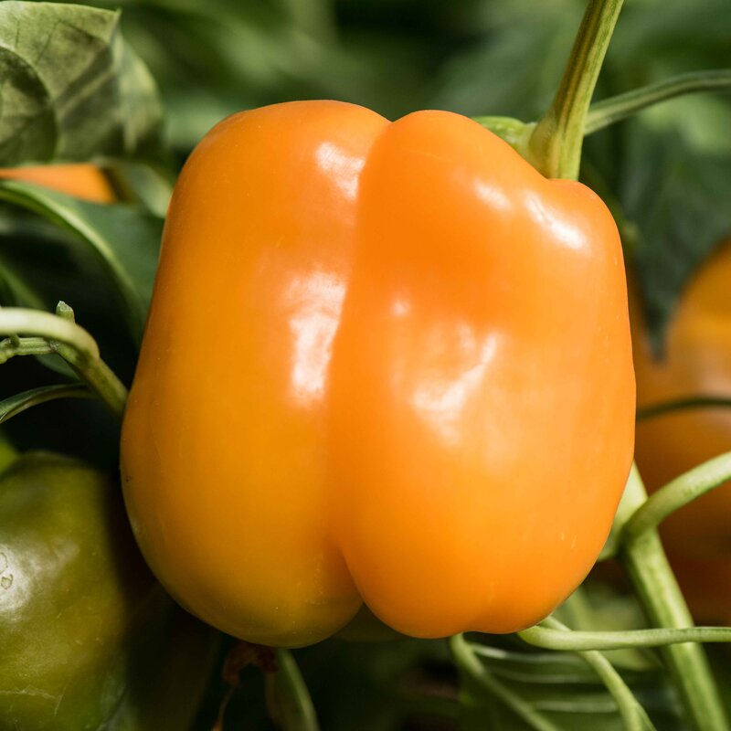 Piments/Poivrons - Orange Bell