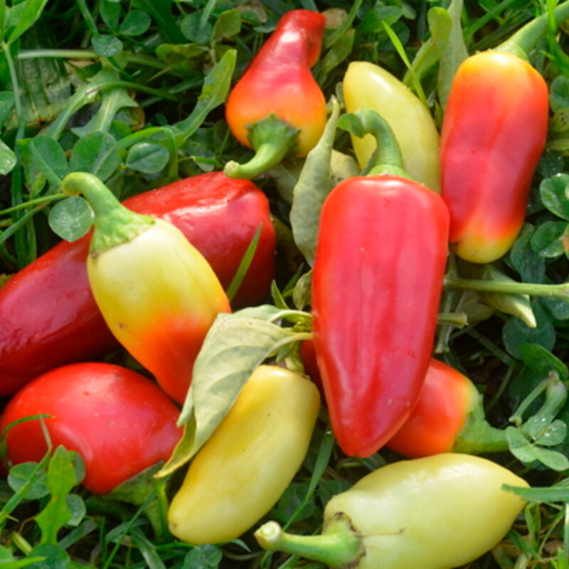 Piments/Poivrons - Wenk's Yellow Hot