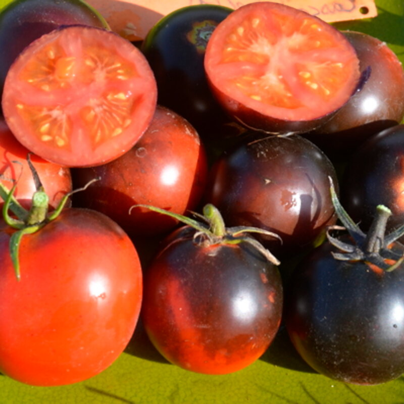Tomates-Cerises - Cascade Village Blue
