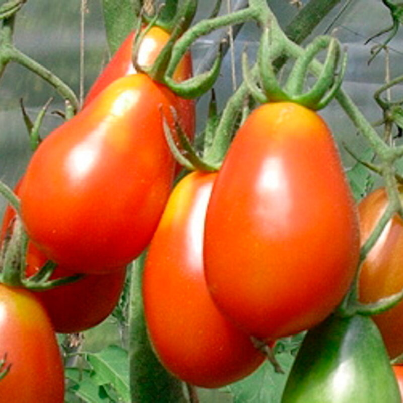 Tomates-Cerises - Grappoli Corbarino
