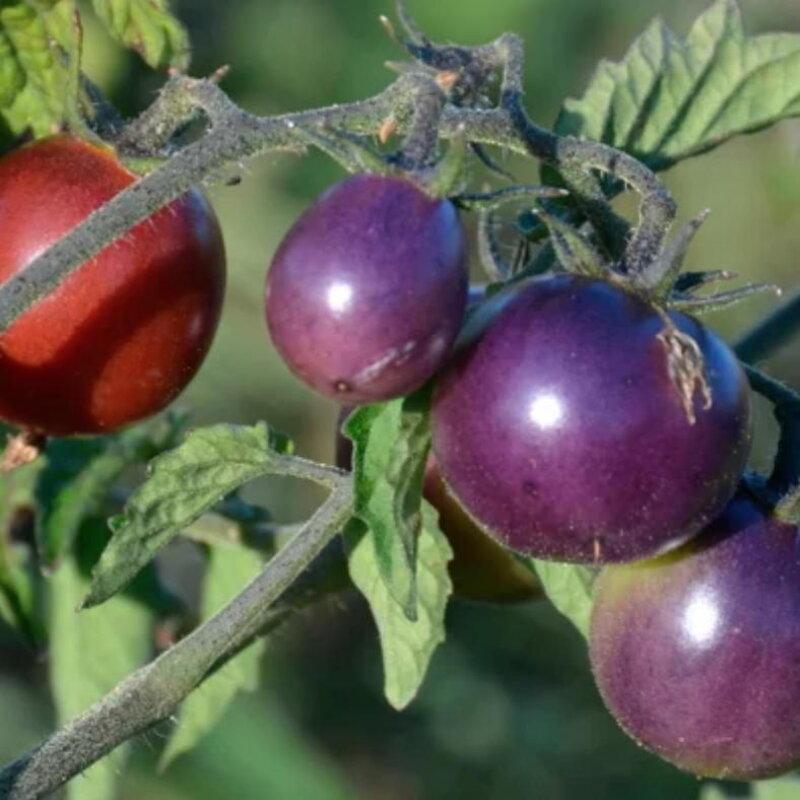 Tomates-Cerises - Blue Pitts