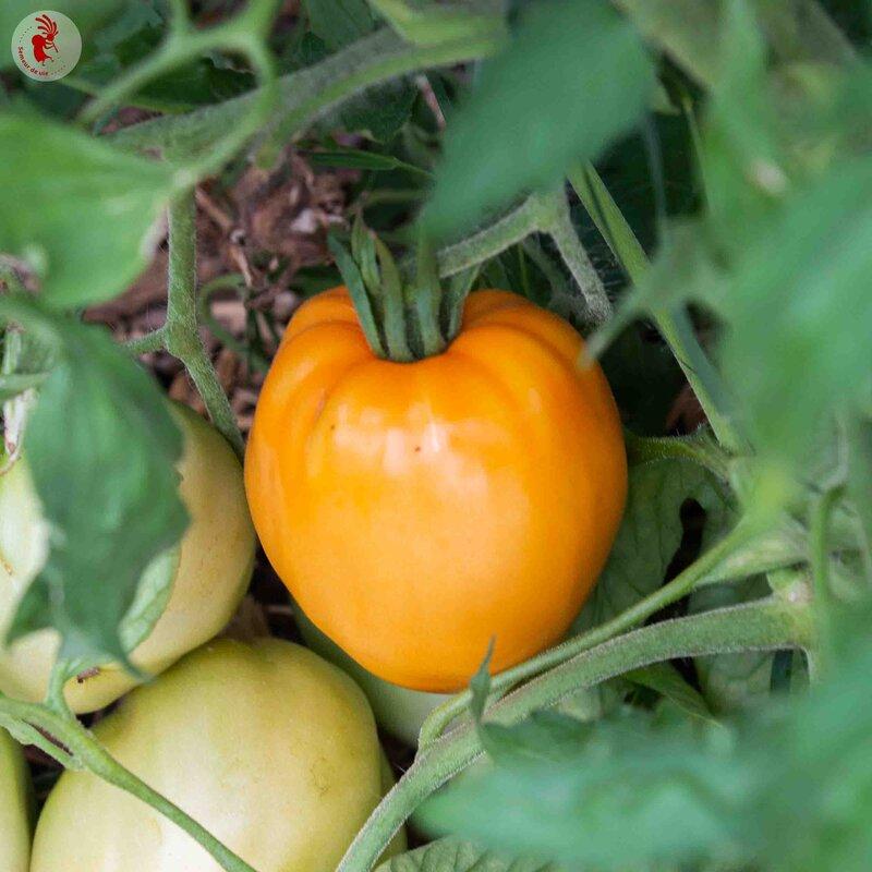 Tomates - Cœur de Bœuf Orange