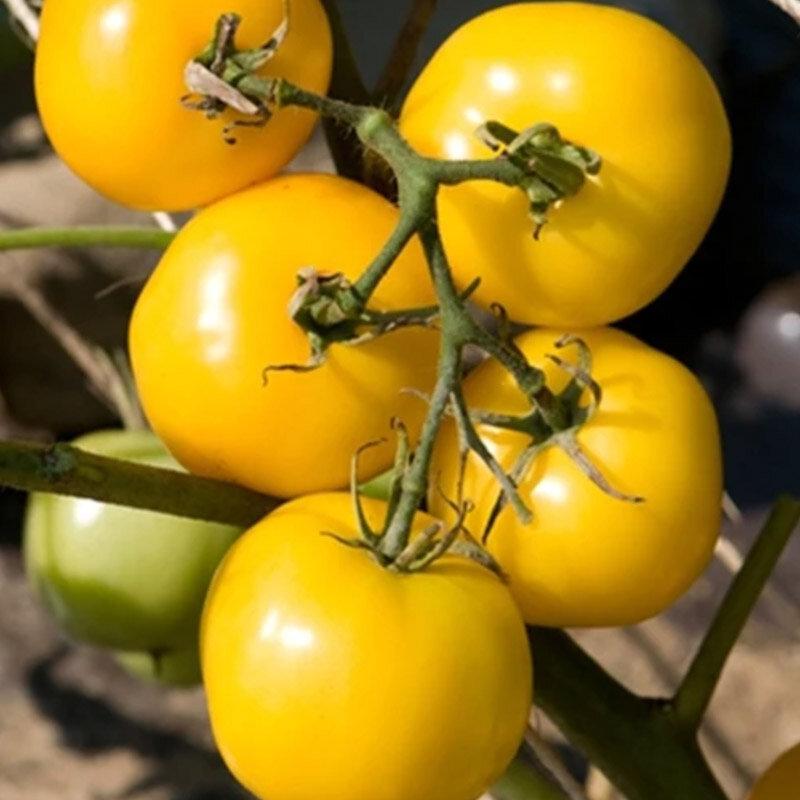 Tomates - Taxi Yellow