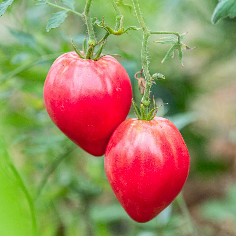 Tomates - Anna Russian