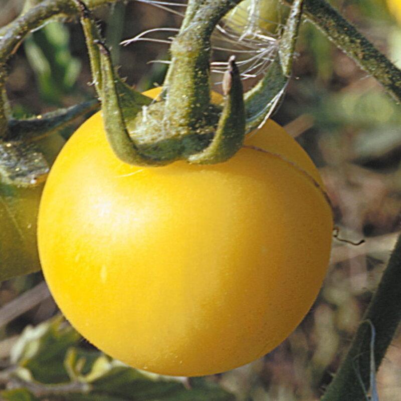 Tomates - Pêche Blanche
