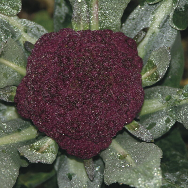 Choux Fleurs - Purple Cape