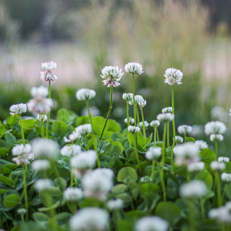 Trèfles - Blanc