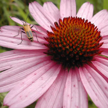 Echinacea - Echinacea tennesseensis