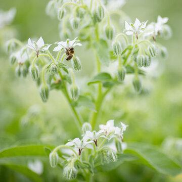 Bourraches - À Fleurs Blanches
