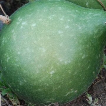 Gourdes - African Kettle