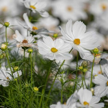 Cosmos - Blanc Pur