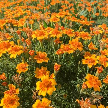 Tagètes - Tangerine
