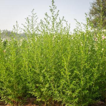 Artemisia - Artemisia annua