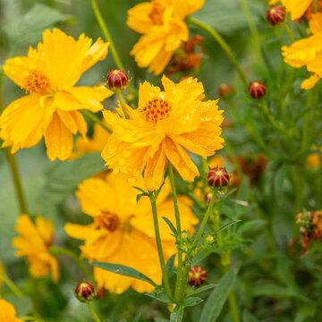Cosmos - Cosmic Yellow