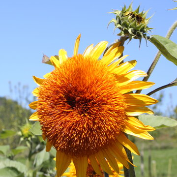 Tournesols à Fleurs - Morning Sun